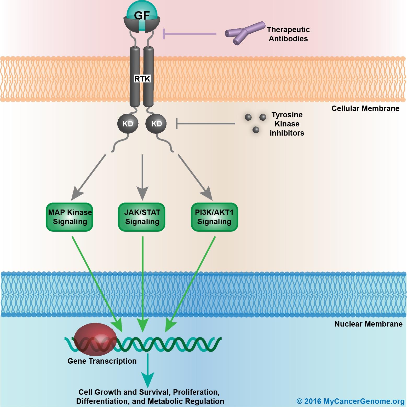 Receptor tyrosine kinase/growth factor signaling - My Cancer ... on mtor inhibitor, protein kinase inhibitor, pi 3 kinase inhibitor, tyrosine kinase inhibitor, jak kinase inhibitor,