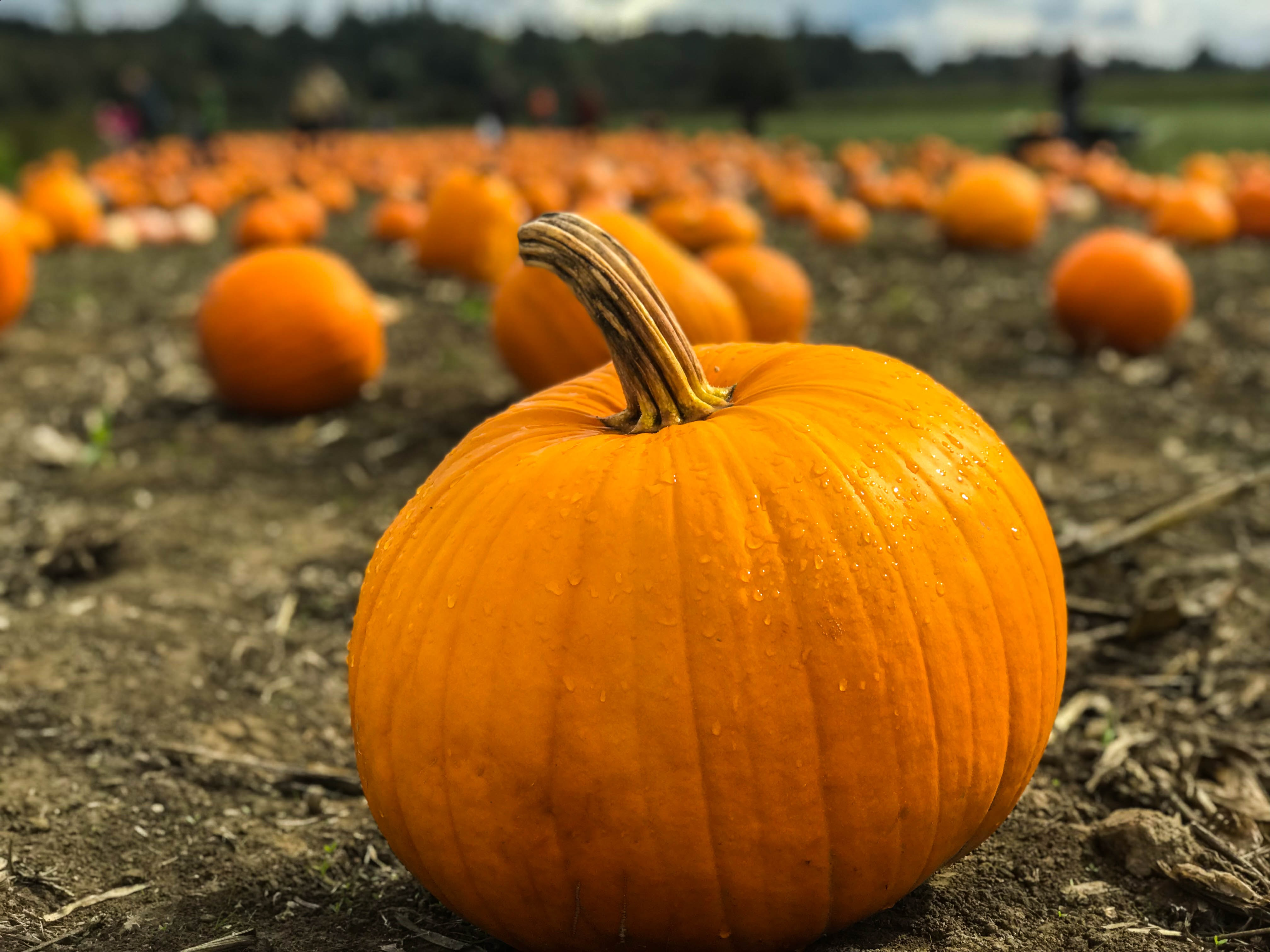 Pumpkins R Us