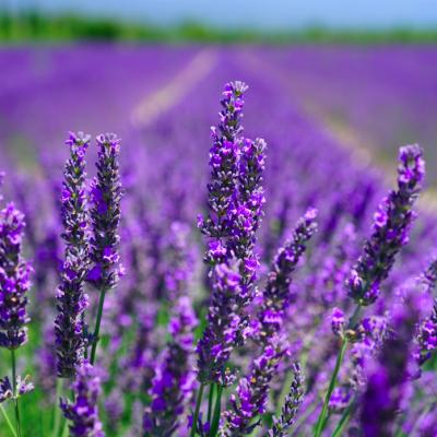 Mayfield Lavender Farm, Banstead