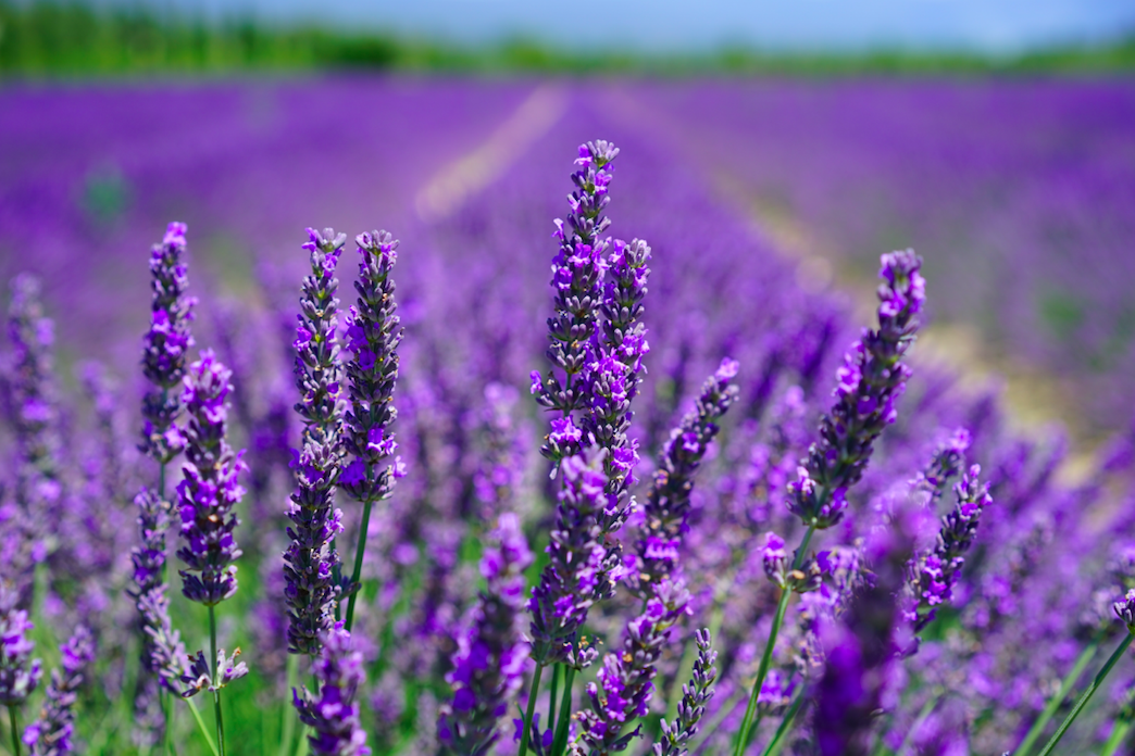 Mayfield Lavender Farm, Banstead