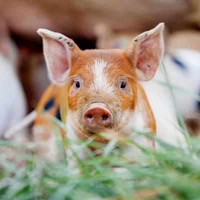 The Pink Pig Farm