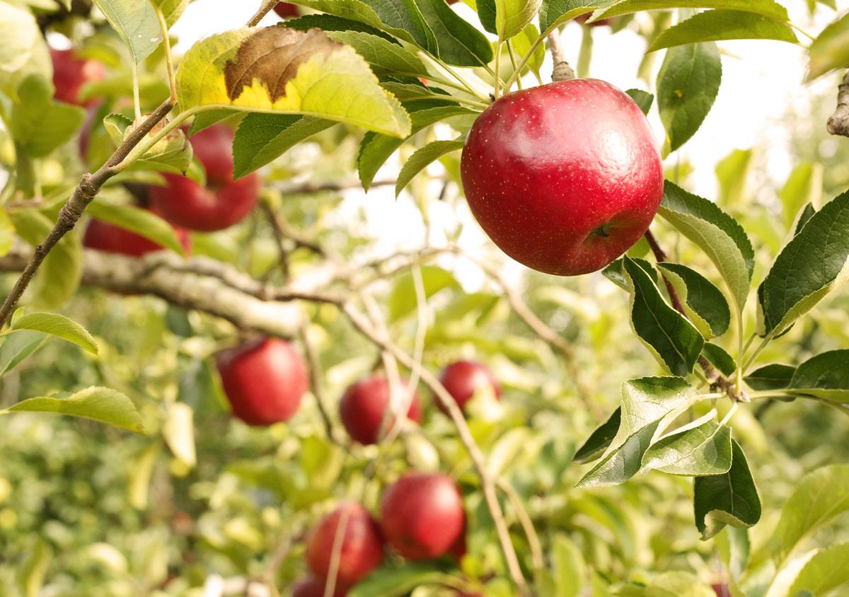 狩り 関東 りんご