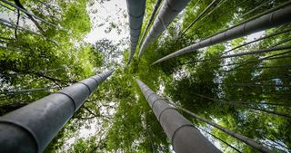 Giant bamboo plant