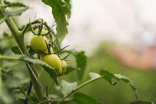 Ecologic tomato