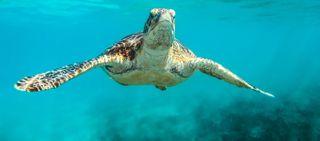Turtle on the sea