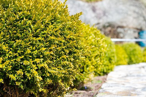 Landscaping with Boxwoods