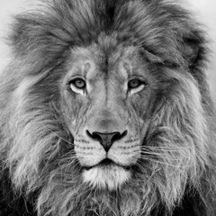 Van Gogh Lion