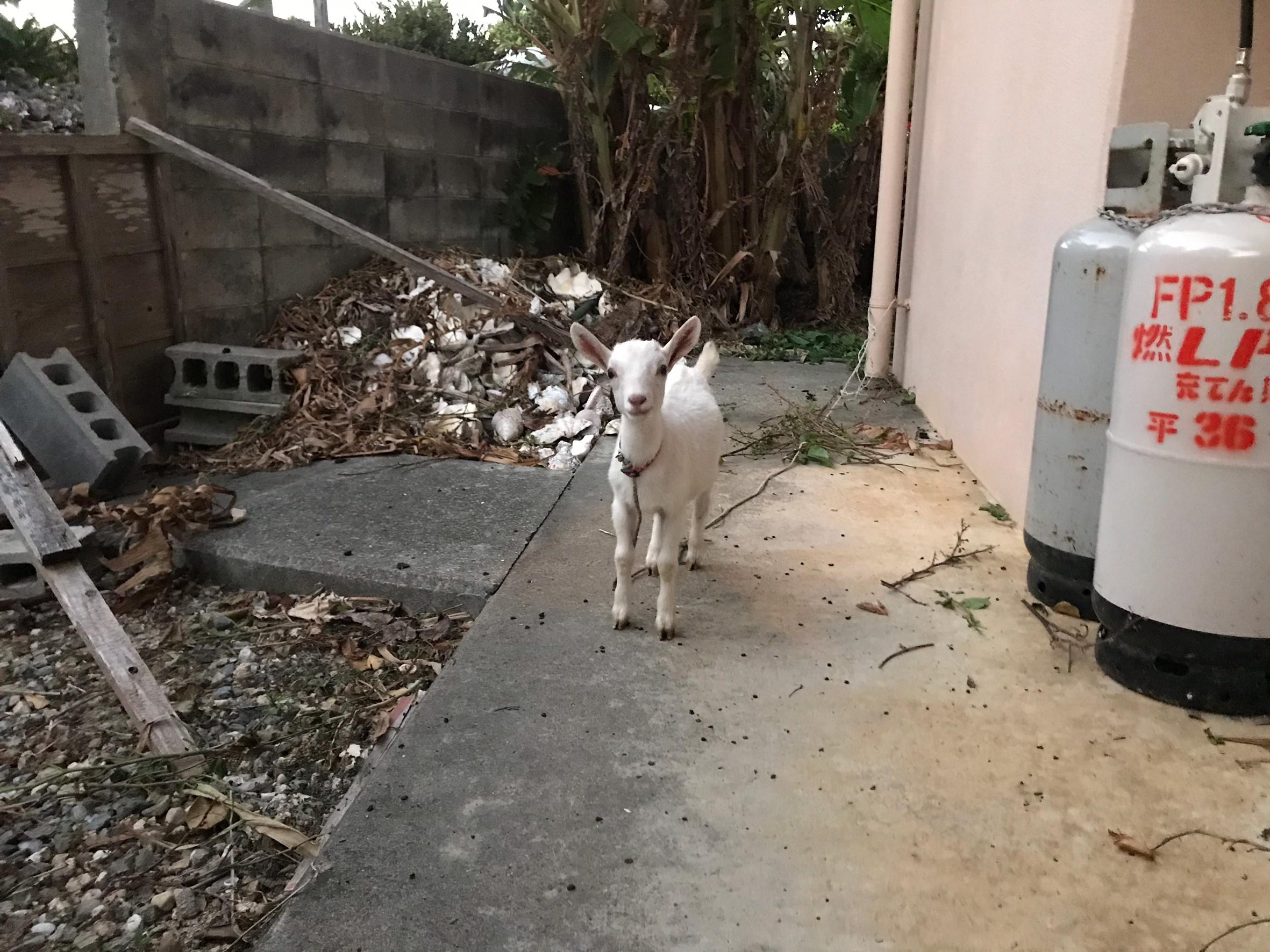 Manya's Goat