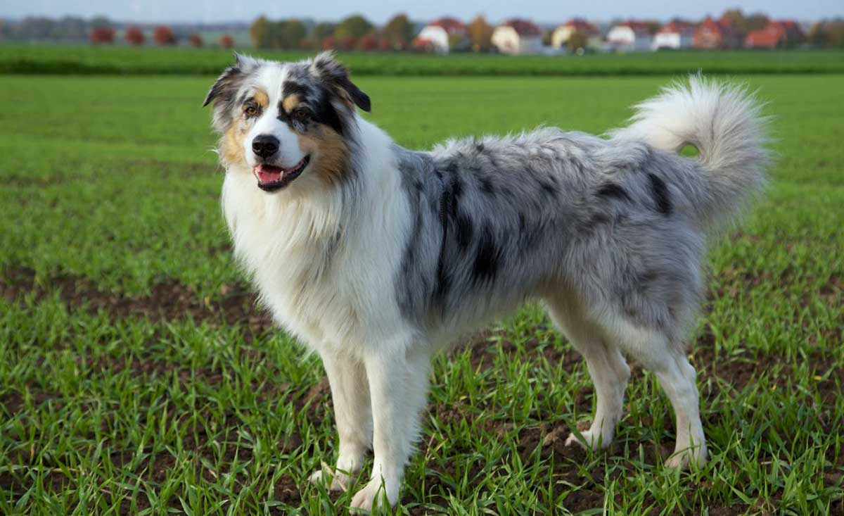 Australian Shepherds With Skin Allergies Dog Food Facts