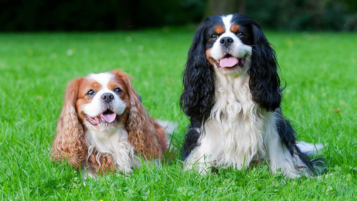 Cavalier king charles spaniels with skin allergies dog food facts cavalier king charles spaniels with skin allergies altavistaventures Image collections
