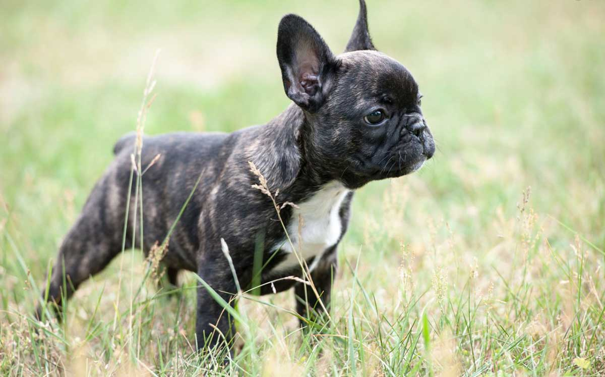 french bulldogs with skin allergies dog food facts