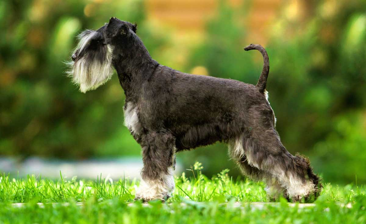miniature schnauzers with skin allergies dog food facts