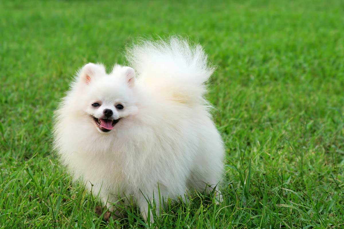 pomeranians with skin allergies dog food facts