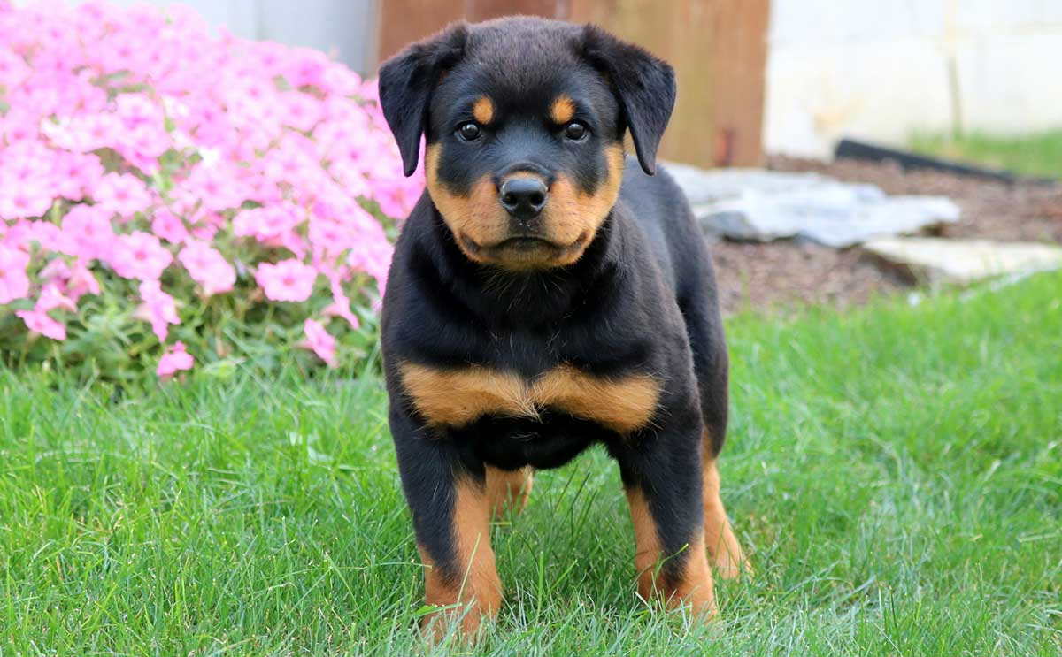 Rottweilers With Skin Allergies Dog Food Facts