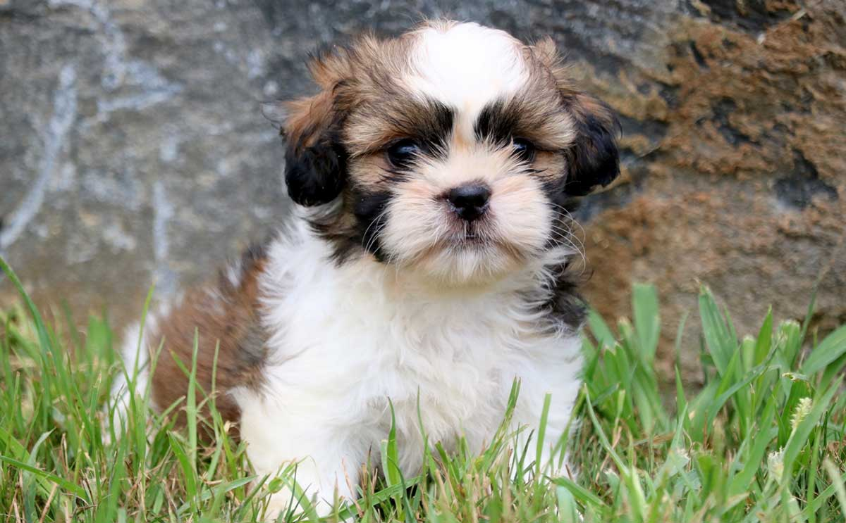 Shih Tzus With Skin Allergies Dog Food Facts