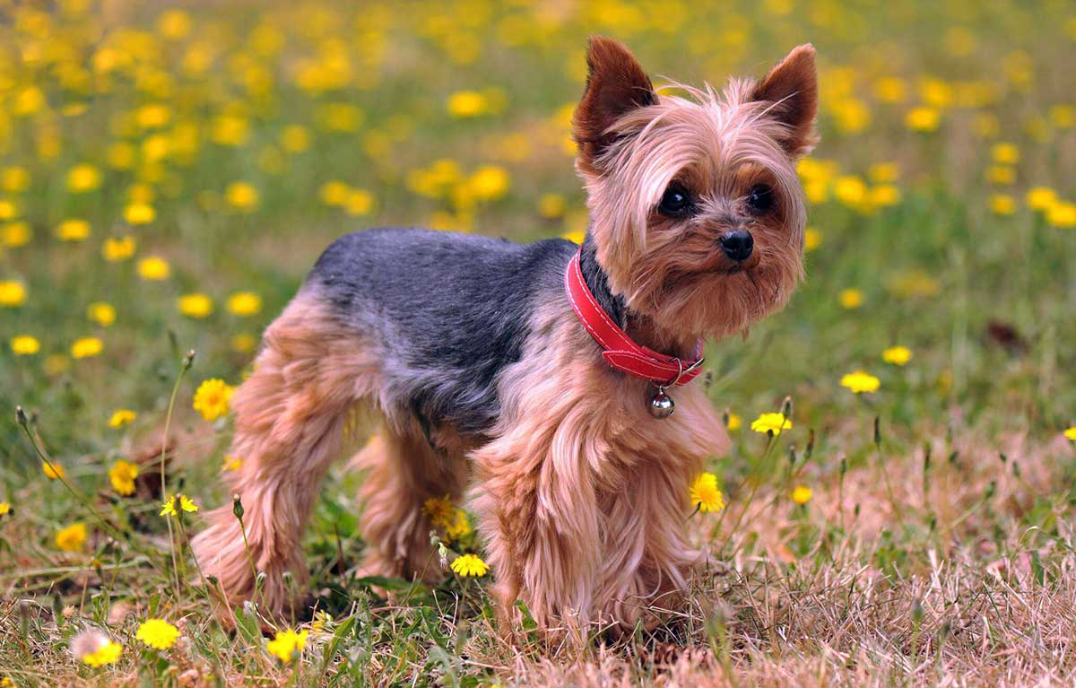 Yorkshire Terriers With Skin Allergies Dog Food Facts
