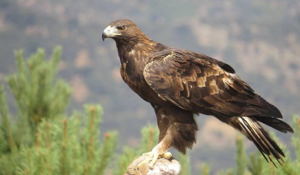 El águila real, símbolo de la mexicanidad en peligro de extinción