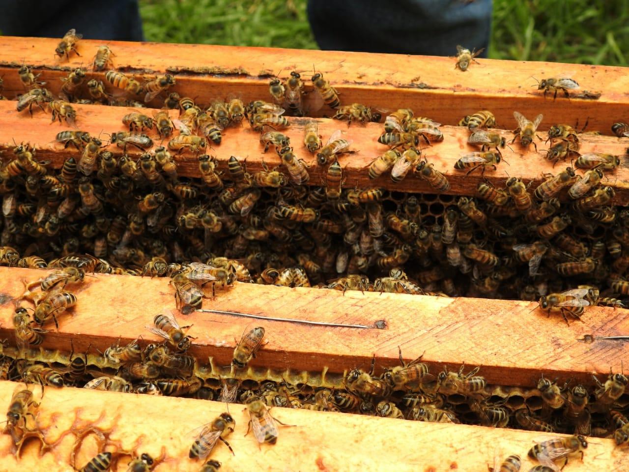 Abejas, zumbidos y miel