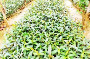 आदर्श गोठान में लगाए गए फलदार पौधे