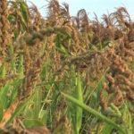 कोदो-कुटकी एवं रागी के मूल्य संवर्धन कार्य से किसानों को मिलेगा अच्छा लाभ