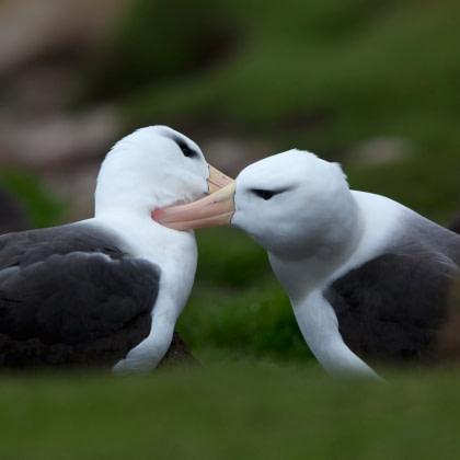 Black-browed Albatross#}