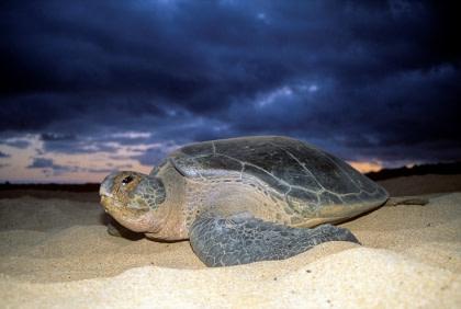 Groene zeeschildpad#}