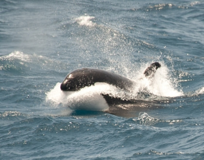 Flora and fauna in the Ross Sea#}