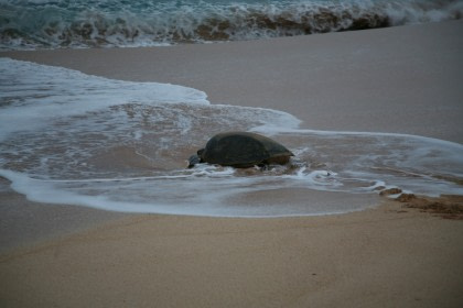 Green Turtles of Ascension Island#}