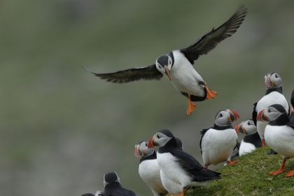 Birds of Fair Isle#}