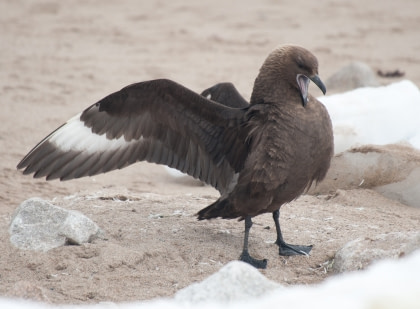 South Polar Skua#}