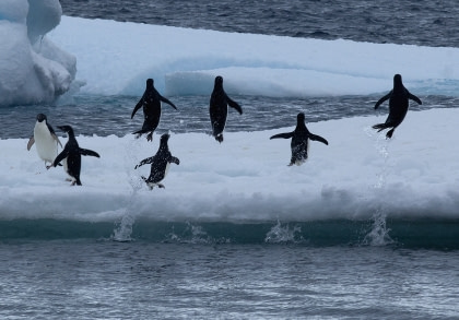 Adélie Penguins & the Weddell Sea#}