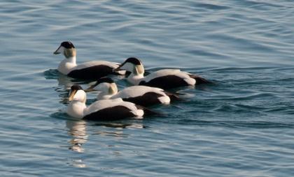Norte de Spitsbergen, verano ártico - Birding