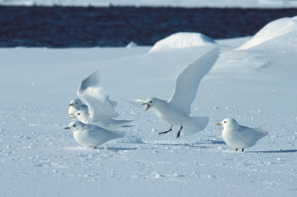 Ivory Gull#}