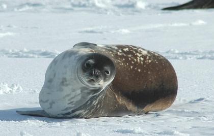 Weddell Seal#}