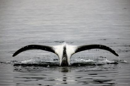 Ballena de Groenlandia#}