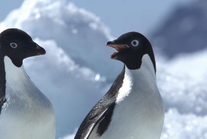 Adelie Penguin#}