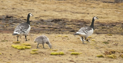 Barnacle Goose#}