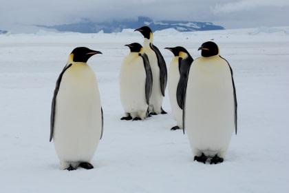 Emperor Penguin#}