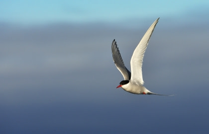 Arctic Tern#}