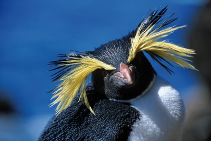 Felsenpinguine auf Tristan da Cunha#}