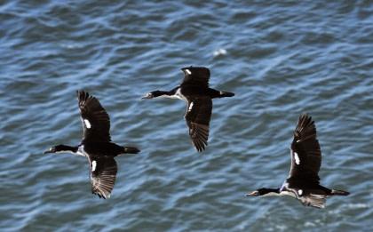 Cormorant#}