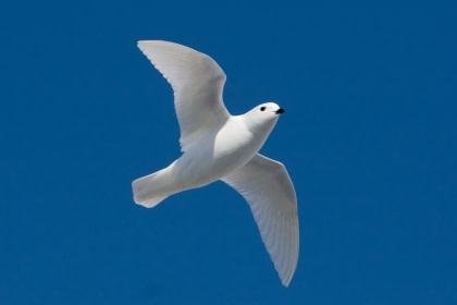Snow Petrel#}