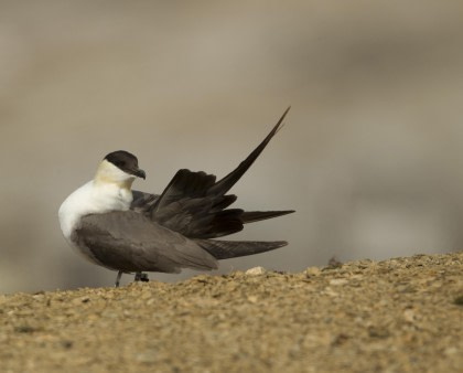 Long-tailed Skua#}