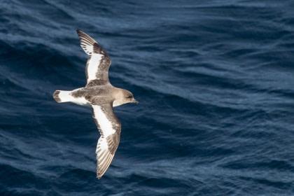 Antarctic Petrel#}
