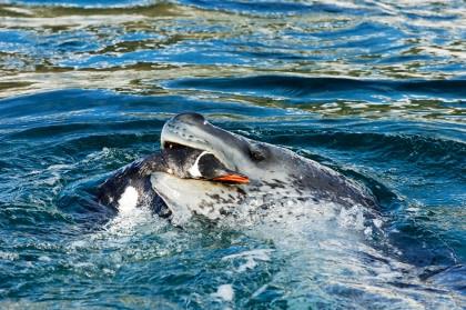 Leopard Seal#}