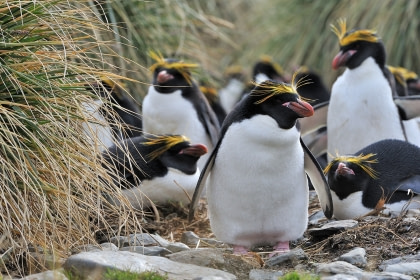 Falkland Islands – South Georgia – Antarctic Peninsula - Vogelspotten
