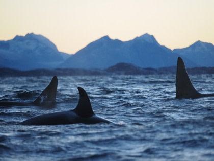 Nord Norwegen, Nordlicht & Wale - Weihnachten