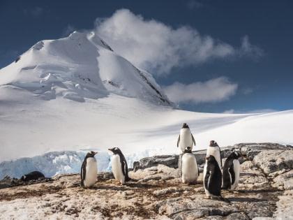 Gentoo Penguin#}