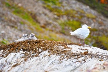 Glaucous Gull#}