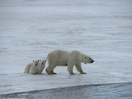 North Spitsbergen - Summer Solstice - In search of Polar Bear & Pack Ice - Birding